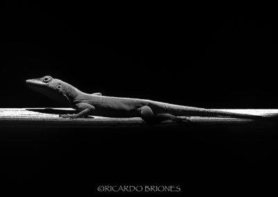 Anolis chlorocyanus - Ricardo Briones
