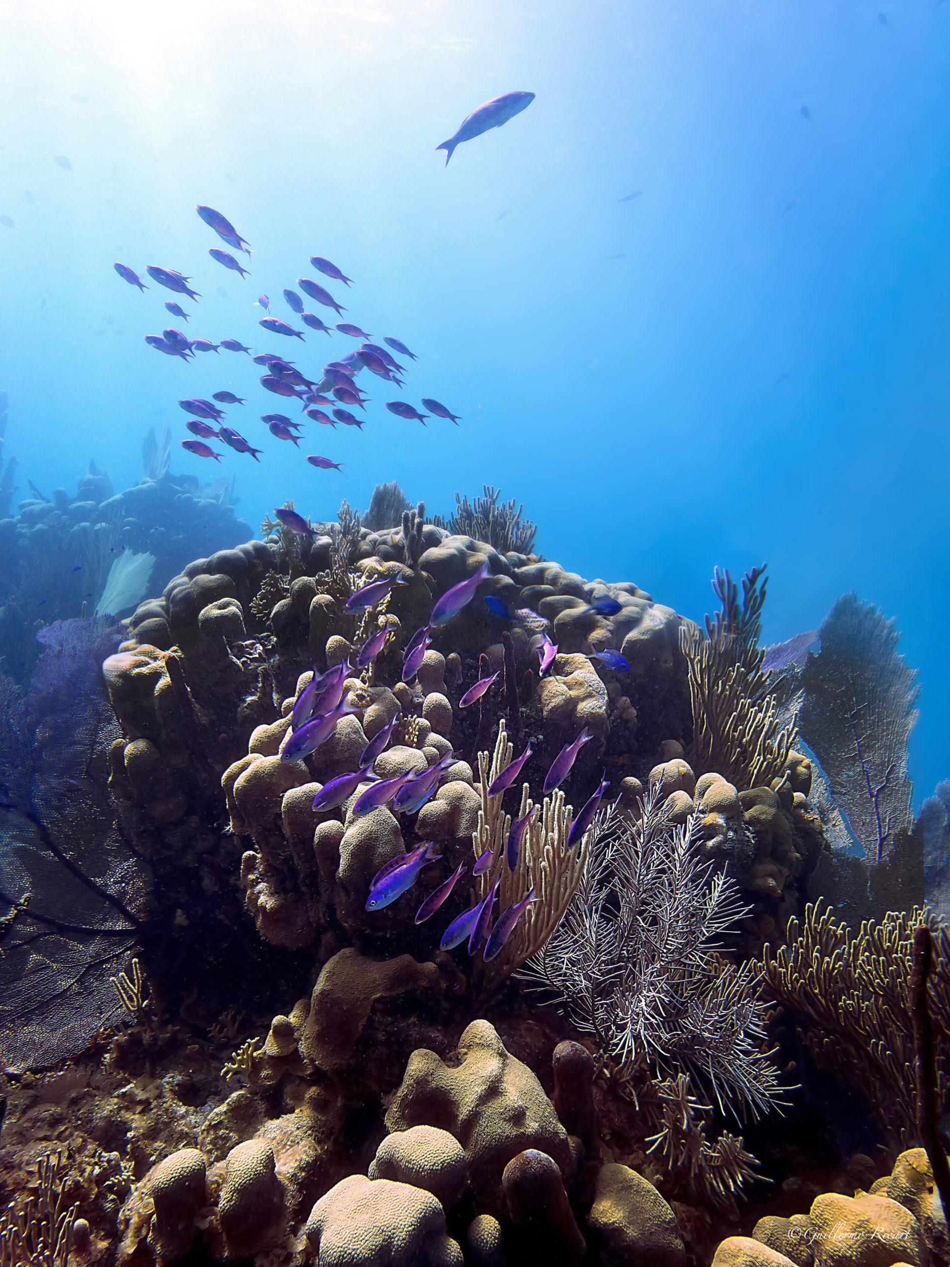 Cayo Arena - Cardumen de Blue Chromis (Chromis cyanea) sobre un grupo de corales variados - Guillermo Ricart