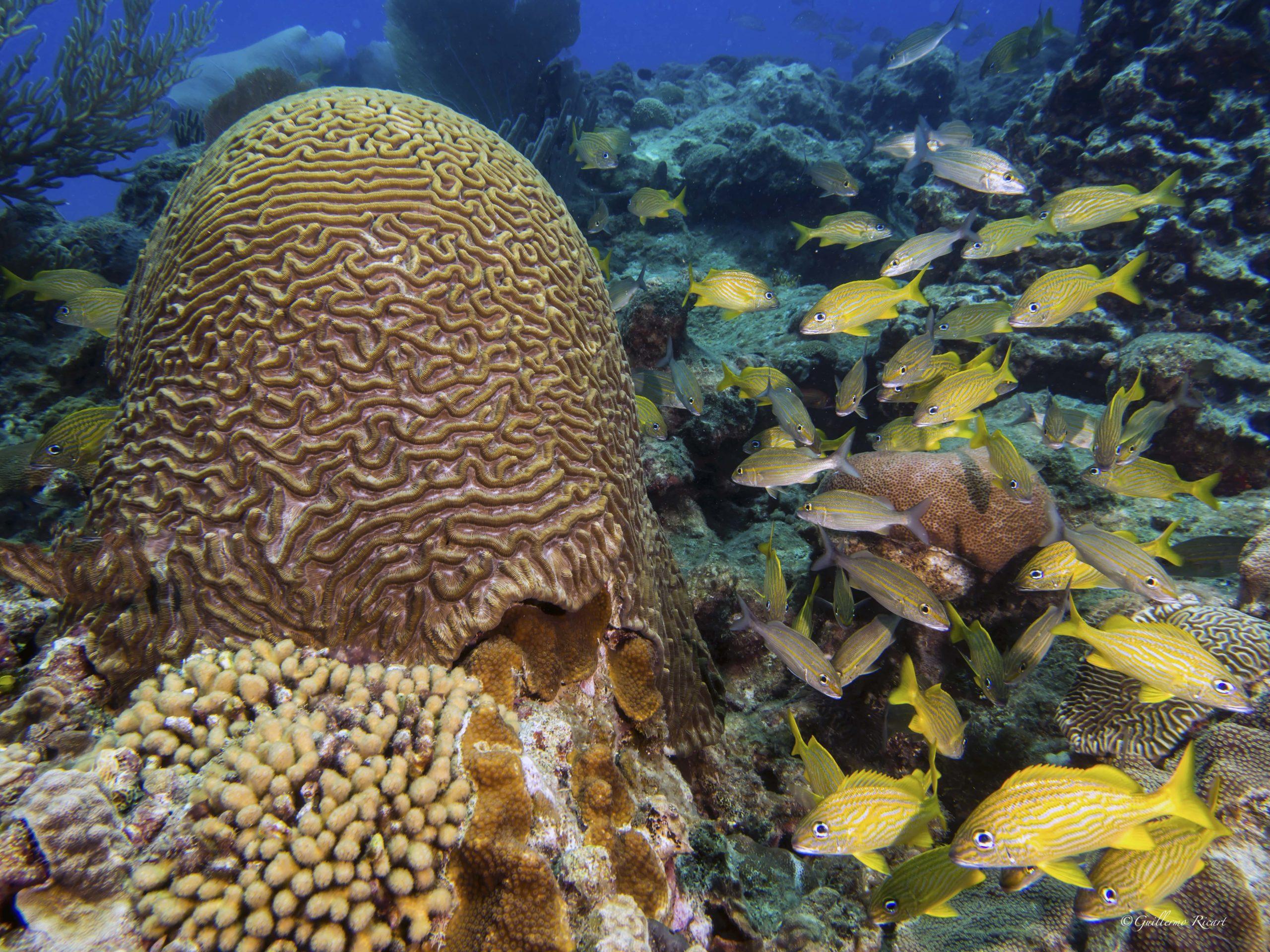 Cardúmen de French Grunt (Haemulon Flavolineatum) próximos a un Symmetrical Brain Coral (Diploria strigosa) en Sosúa.- Guillermo Ricart