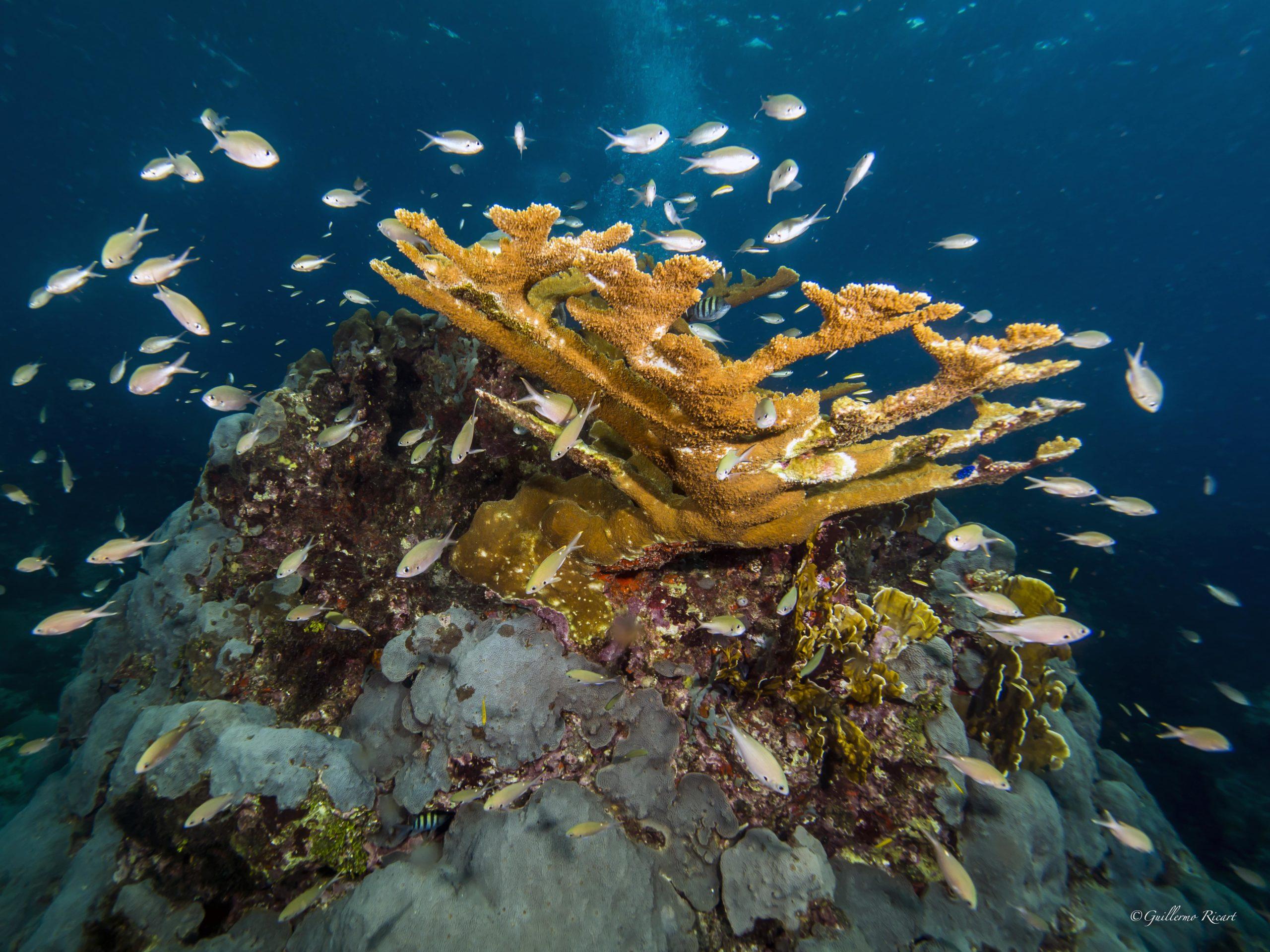 Cardúmen de Brown Chromis (Chromis multilineata) próximos a un coral Cuerno de Alce (Acropora palmata) en Boca Chica, Rep. Dominicana. - Guillermo Ricart