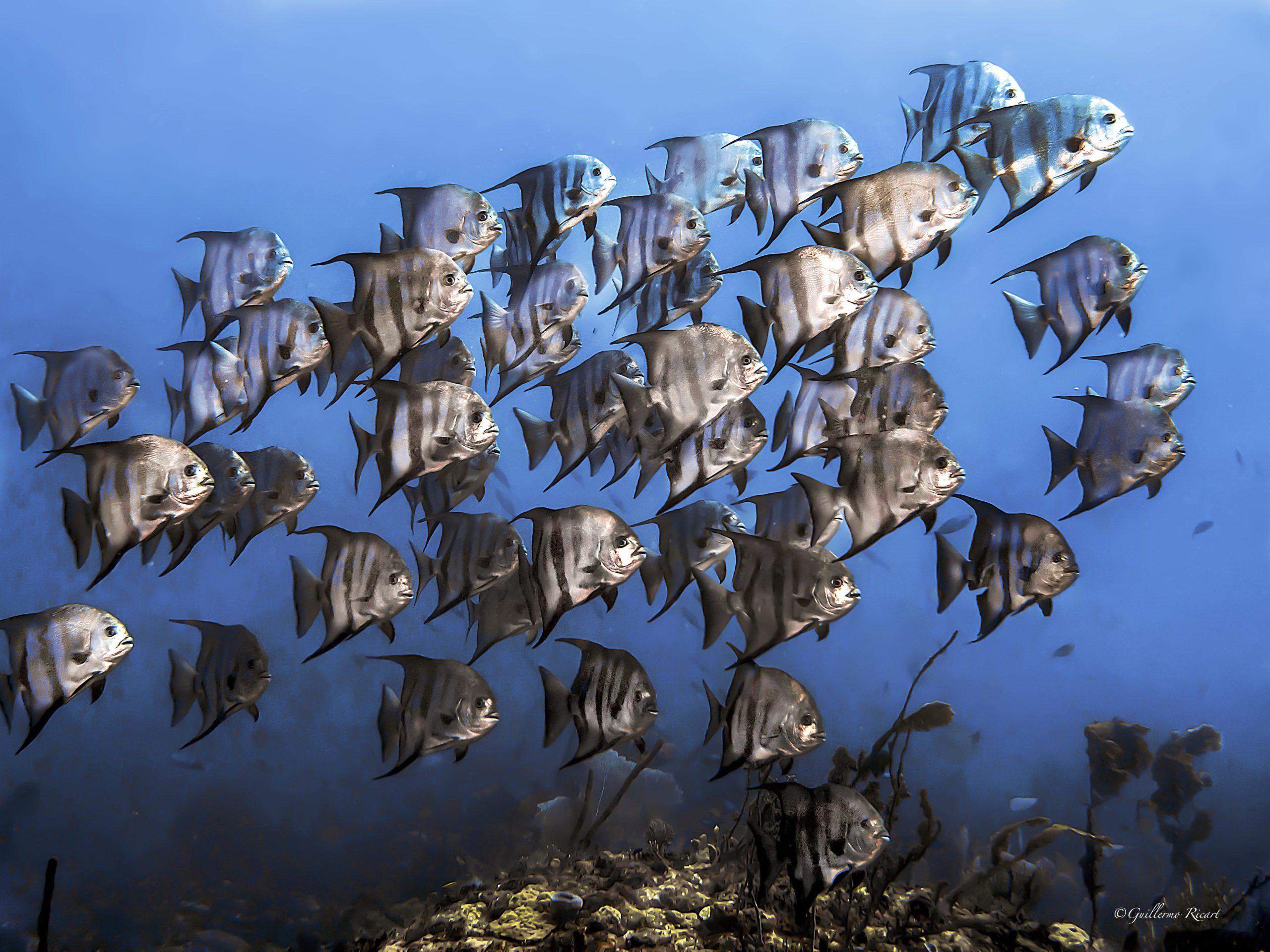 Cardúmen de Atlantic Spadefish (Chaetodipterus faber) en El Parque Nacional Submarino La Caleta - Guillermo Ricart