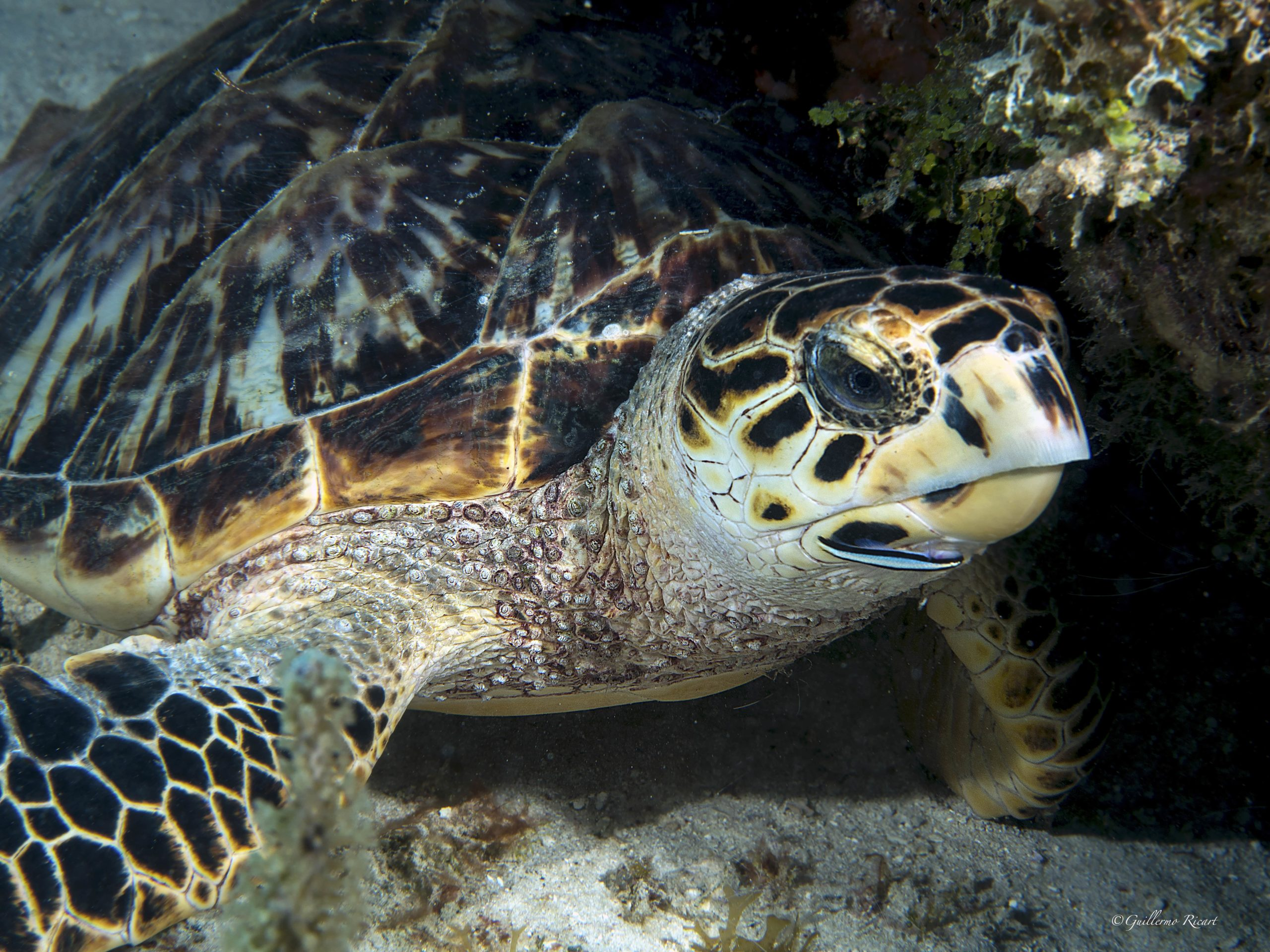 Tortuga Carey (Eretmochelys imbricata). Cabo Falso, Pedernales- Guillermo Ricart