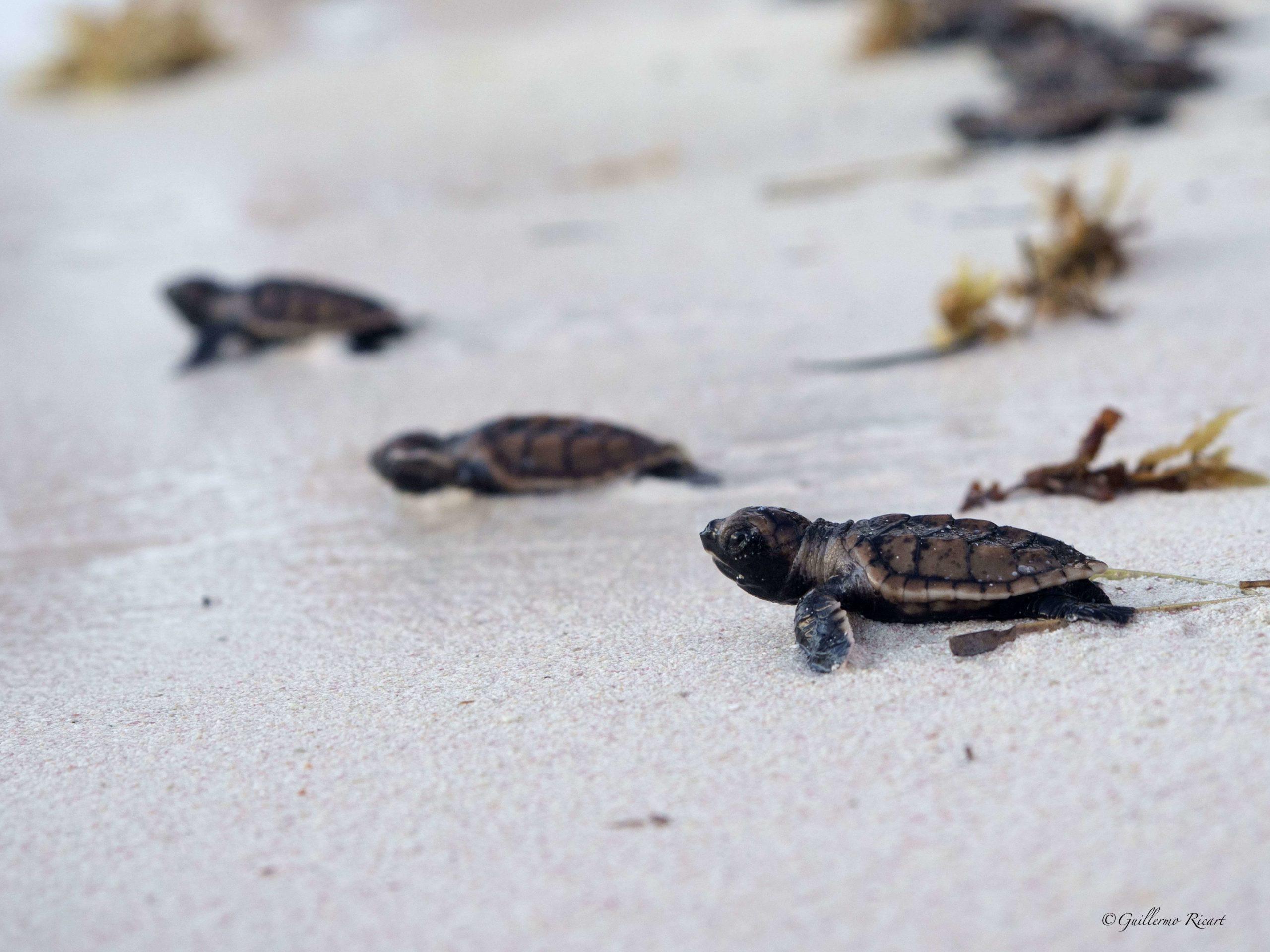 Crias de tortugas Carey (Eretmochelys imbricata). Playa Serena, Punta Cana