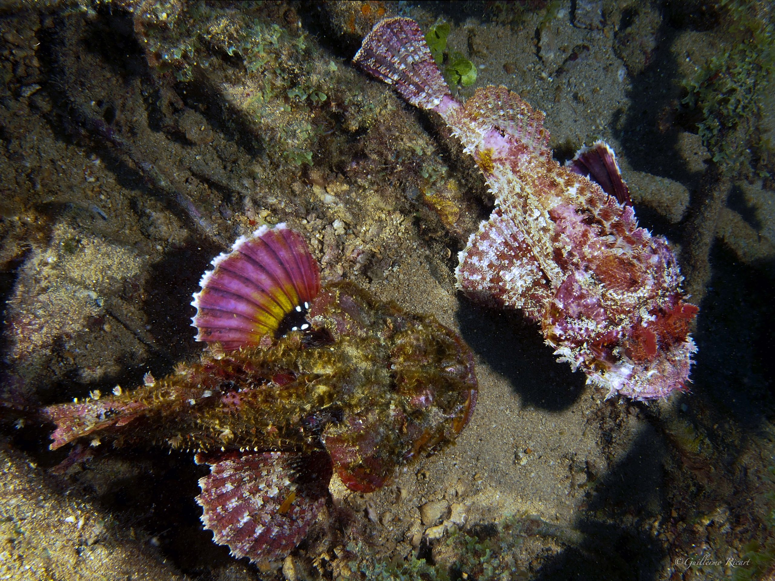 Una pareja de peces Escorpión o pez Piedra (Scorpaena plumieri), entre los restos de El Limón en El Parque Nacional Submarino La Caleta