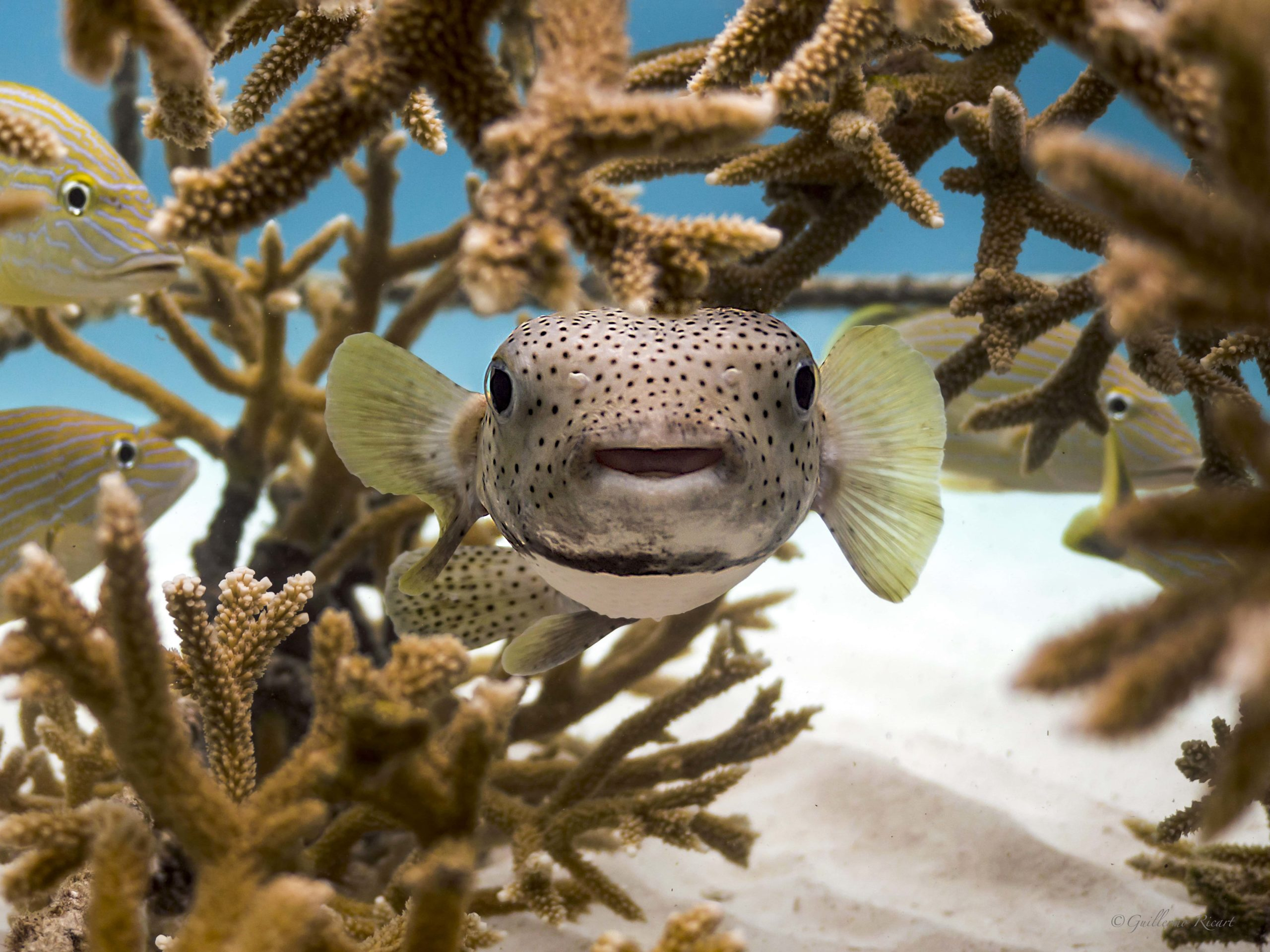 Pez Puercoespín (Diodon hystrix), entre los viveros de corales Cuerno de Ciervo (Acropora cervicornis) de la Fundación Punta Cana.