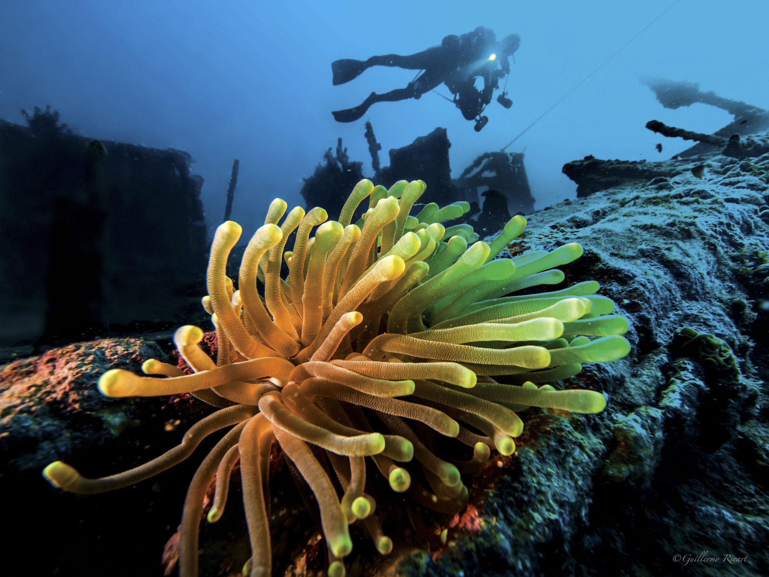 Anémona Gigante (Condylactis gigantea), adherida a los restos del Hickory en El Parque Nacional Submarino La Caleta.