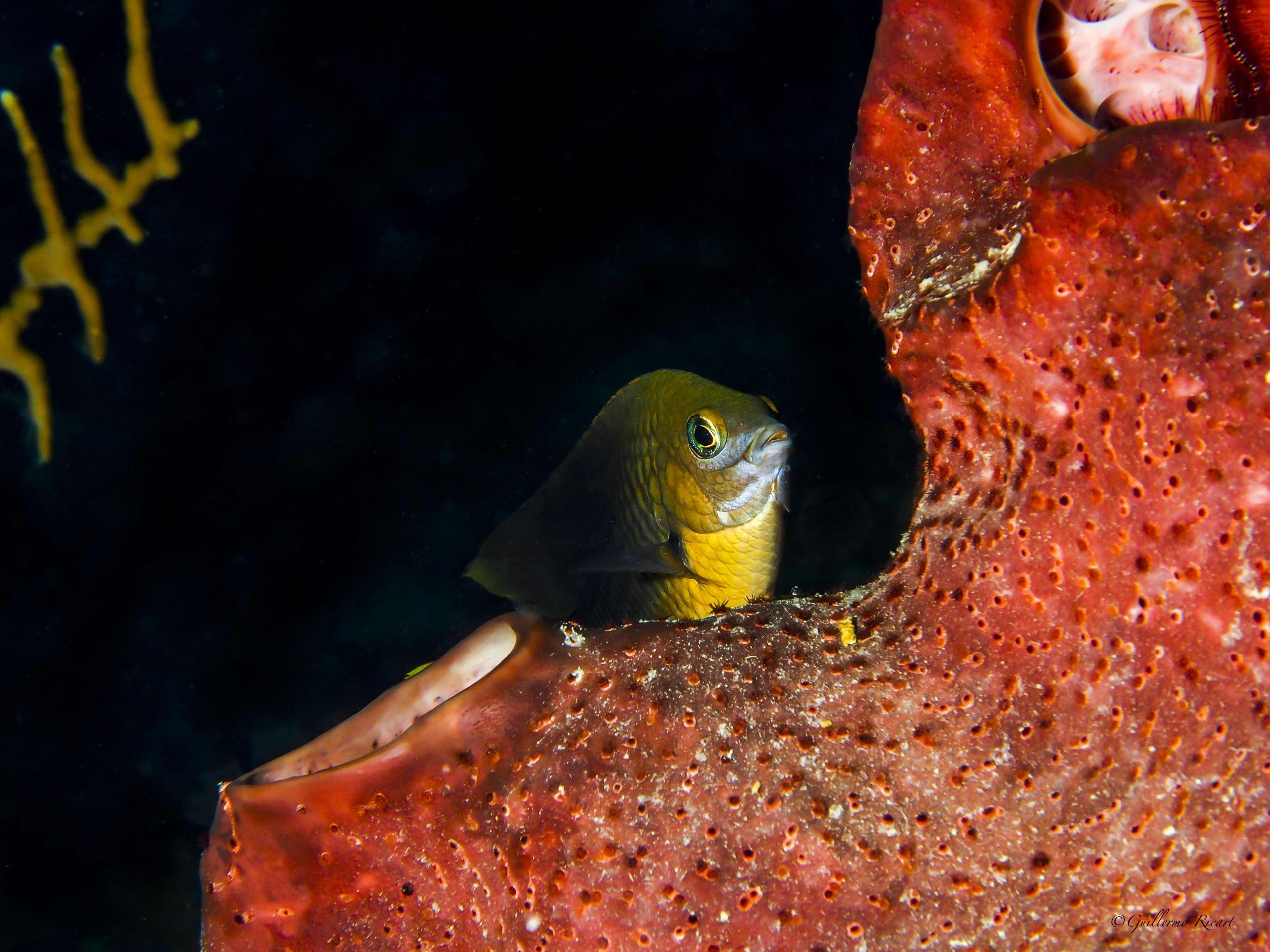 Threespot Damselfish (Stegastes planifrons). Sosua, Puerto Plata.