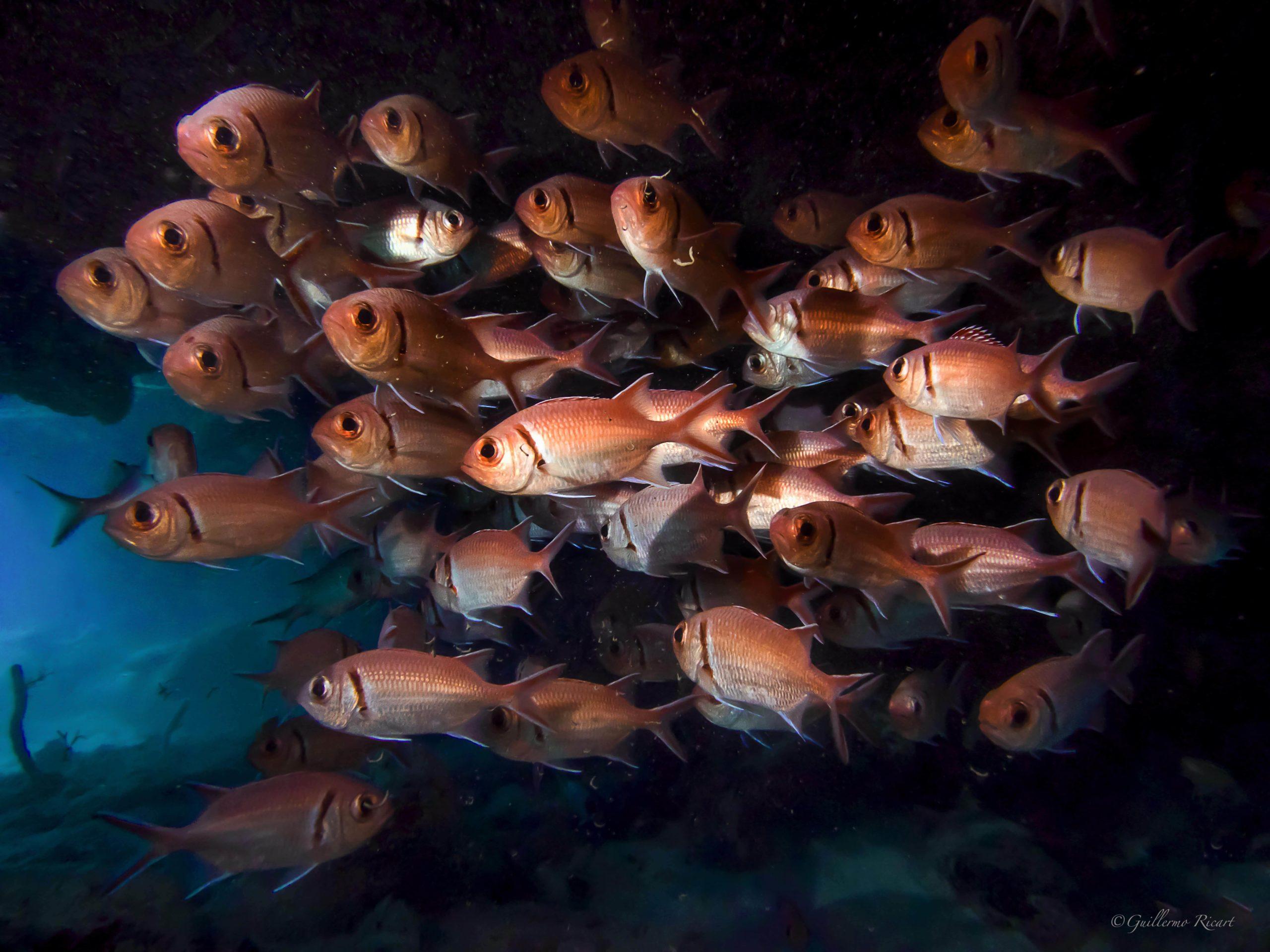 Cardumen de Blackbar Soldierfish (Myripristic jacobus) en La Parguera - Isla Saona.