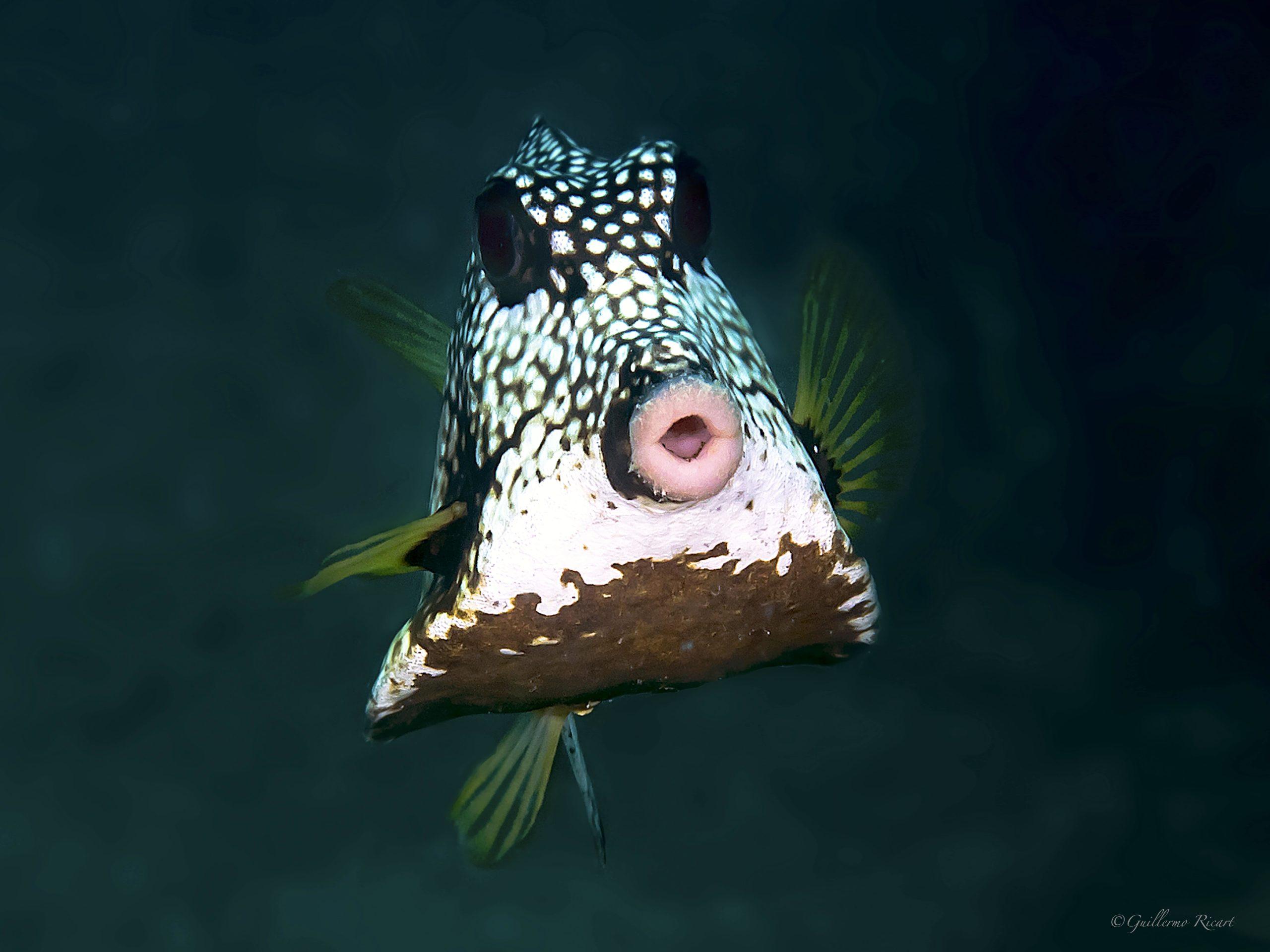 Smooth Trunkfish (Pez Baúl o Pez Cofre). Punta Arena, Baní.