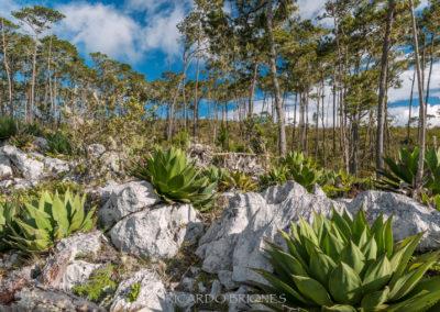 Pinares en Parque Nacional Sierra de Bahoruco - Ricardo Briones