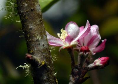 Flor de manzano, Valle Nuevo, RD - Leo Salazar