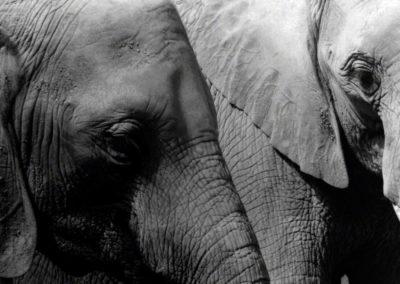 Hembras jovenes, Loxodonta africana, Parque Zoologico Nacional, RD - Leo Salazar