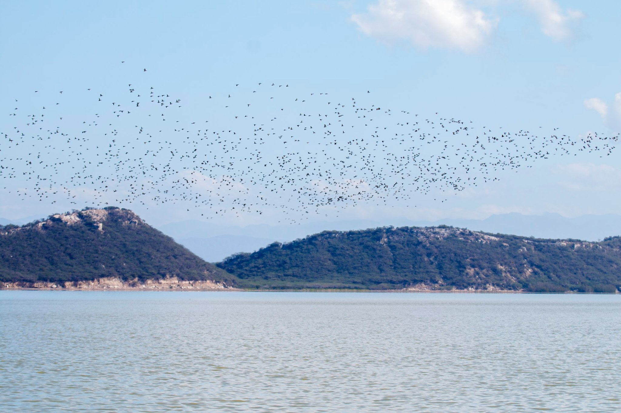 """""""Patos porrones menores (Aythya affinis) en la Laguna de Cabral. Foto hecha el 28 de Febrero de 2015."""""""
