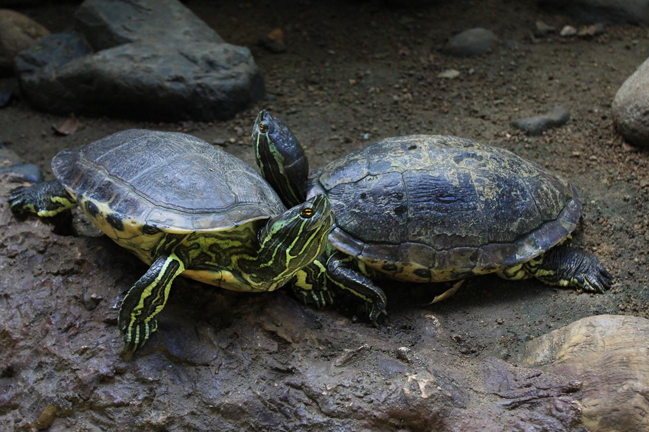 """""""Especie endémica de Tortuga Trachemys decorata, la misma que se encuentra en la Laguna. Foto hecha el 5 de Febrero de 2010, Acuario Nacional."""""""
